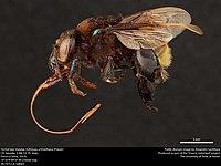 Orchid bee (Apidae, Eufriesea schmidtiana (Friese)) (37124154876).jpg
