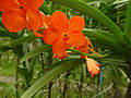 Orchids in Thailand 2013 2731.jpg