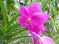 Orchids in Thailand 2013 2751.jpg