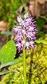 Orchis italica in Lozere (7).jpg