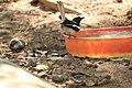 Oriental Magpie Robin(മണ്ണാത്തിപ്പുള്ള്).jpg
