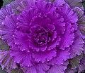 Ornamental Cabbage 3 (4125240726).jpg