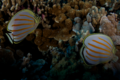 Ornate Butterflyfish Pair.png