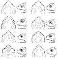 Osornophryne 8 males - ZooKeys-108-073-g010.jpg