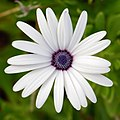 Osteospermum September 2008-1.jpg