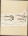 Otaria lobata - gebit - 1700-1880 - Print - Iconographia Zoologica - Special Collections University of Amsterdam - UBA01 IZ21100099.tif