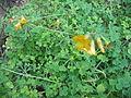Oxalis ptychoclada (Habitus).jpg