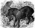 PSM V02 D155 American tapir.jpg