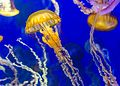 Pacific Sea Nettle in Aquarium.jpg
