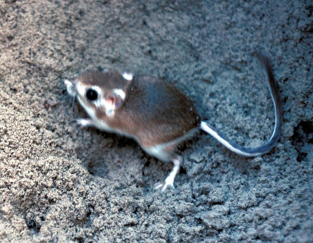The average litter size of a Gulf Coast kangaroo rat is 1