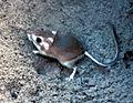 Heteromyidae - Wikimedia Commons