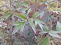 Paeonia suffruticosa Piazzo 03.jpg