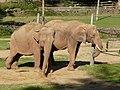 Paignton , Paignton Zoo, Elephants - geograph.org.uk - 1484811.jpg