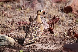 Painted sandgrouse male Pterocles indicus.jpg