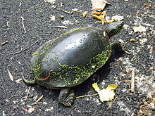 Painted turtle with green slime on its shell, on pebbles, with a couple of leaves on its back. Sun shining.