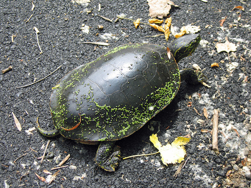 File:Painted turtle California.jpg