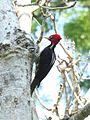 Pale-billed Woodpecker 2.jpg