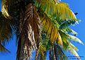 Palmar en el Muelle de Arecibo - Arecibo, Puerto Rico - panoramio.jpg