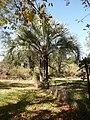 Palmera en Fortín Olavarría (planta 01) foto 01 Probablemente Butia yatay (Cabral y Castro 2007).JPG