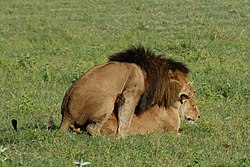 Panthera leo -Ngorongoro Conservation Area, Tanzania -mating-8.jpg