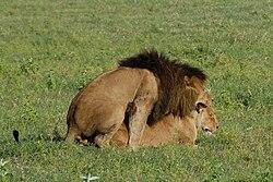 фото с львами