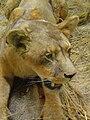 Panthera leo 02.JPG