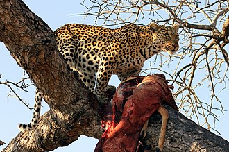 African leopard - Leopard with kill in tree in Limpopo, South Africa