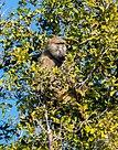 Papión chacma (Papio ursinus), parque nacional de Chobe, Botsuana, 2018-07-28, DD 62.jpg
