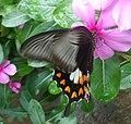 Papilio polytes - Mindanao, Philippines 4.jpg