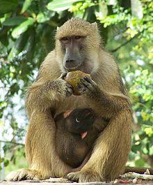 Are Elephants Mammals >> List of mammals of Zambia - Wikipedia