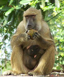 Yellow baboon Species of baboon