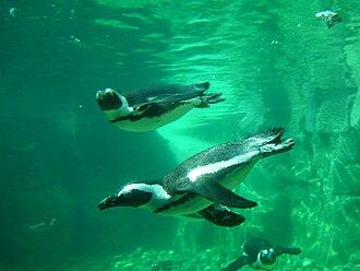 Pairi Daiza - Penguins at the zoo's bay