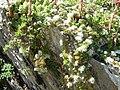 Paronychia kapela ssp serpyllifolia.jpg