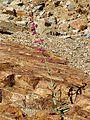 Parry's Beardtongue - Flickr - treegrow (1).jpg