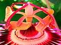 Passion flower stamen.jpg