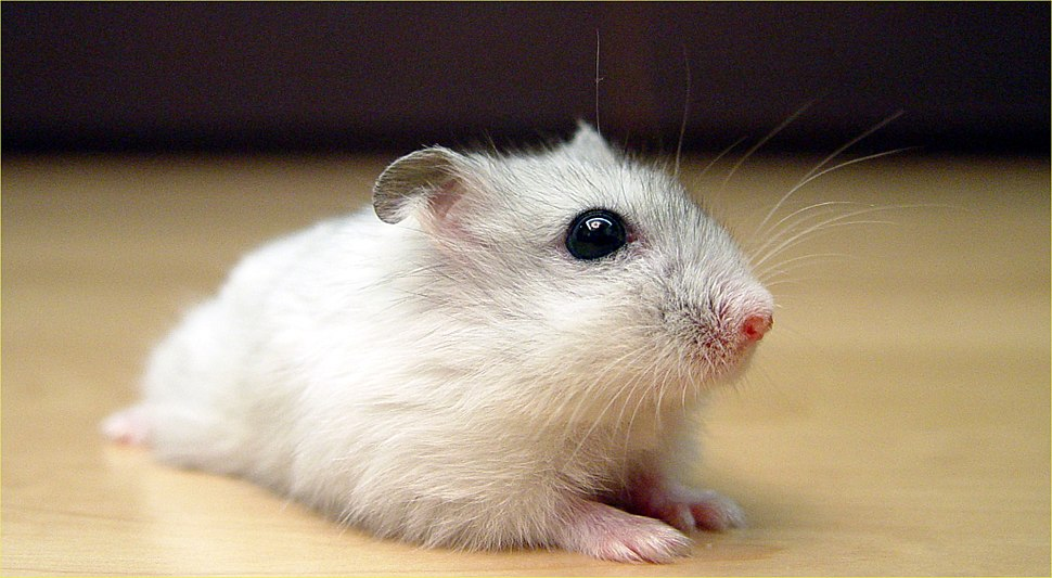 Pearl Winter White Russian Dwarf Hamster - Front