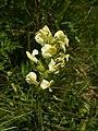 Pedicularis tuberosa (spike).jpg