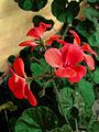 Pelargonium Hortorum C.JPG