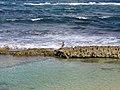 Pelican au Moule en Guadeloupe.jpg