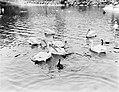 Pelikanen in een vijver, Bestanddeelnr 252-1411.jpg