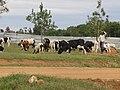 Pepeople grazing cows in Rwanda.jpg