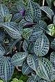 Peperomia sandersii - Kolkata 2013-11-10 4489.JPG