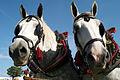 Percherons attelés mondial du cheval percheron 2011Cl J Weber27 (24057359286).jpg