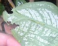 Pergesa acteus (Thailand, Nonthaburi, Bang Bua Thong, Soi Mu Ban Bua Thong 4, 10.xi .2014) (D. Kruger) Egg and L1 1.jpg