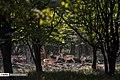 Persian Fallow Deers in Dasht-e Naz Wildlife Refuge 2020-06-02 16.jpg
