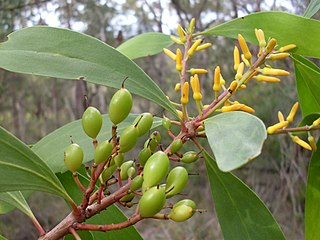 <i>Persoonia levis</i> a shrub in the family Proteaceae native to New South Wales and Victoria in eastern Australi