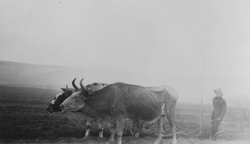 Oxen plowing near Lima. Image courtesy Wikimedia Commons.