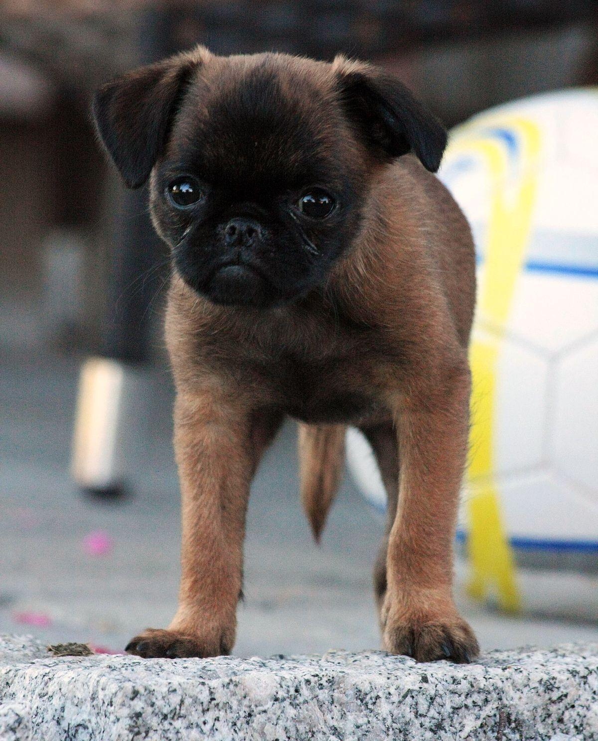 Кане корсо описание породы фото цена щенков отзывы