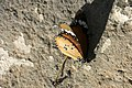 Petit monarque (Danaus chrysippus).jpg