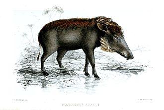 Faye family - Image: Phacochoerus Aellani Keulemans